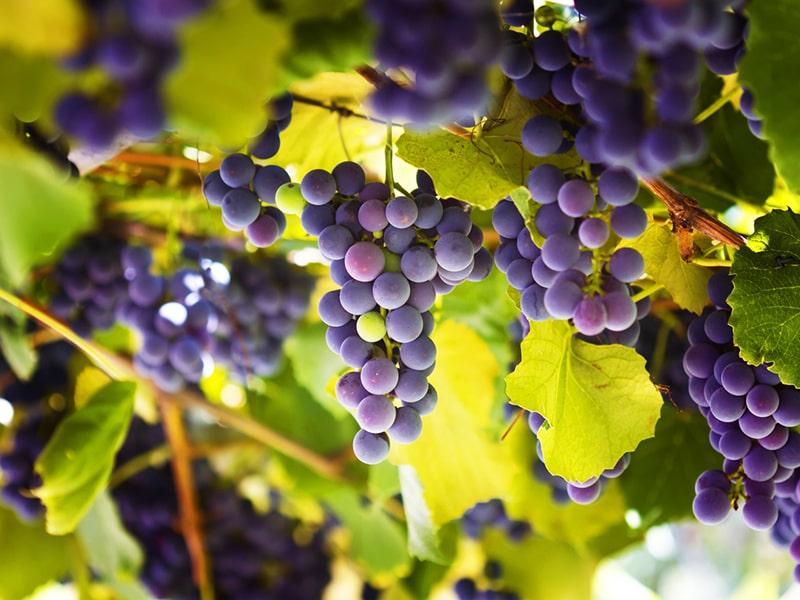 Deflanil antiossidanti naturali uva